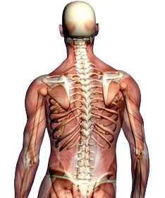 עמוד-השדרה